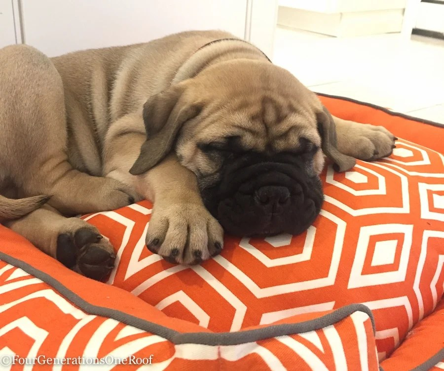Murphy 9 weeks bull mastiff-12-3
