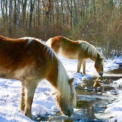 Our Haflinger Ponies are Enjoying their New Digs