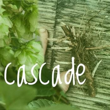 Cascade Hop 2018 Rhizome small