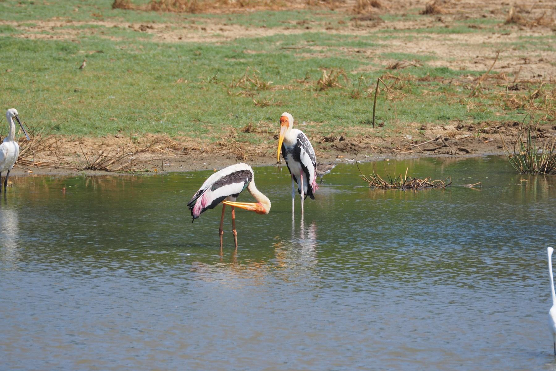 Yala birdlife