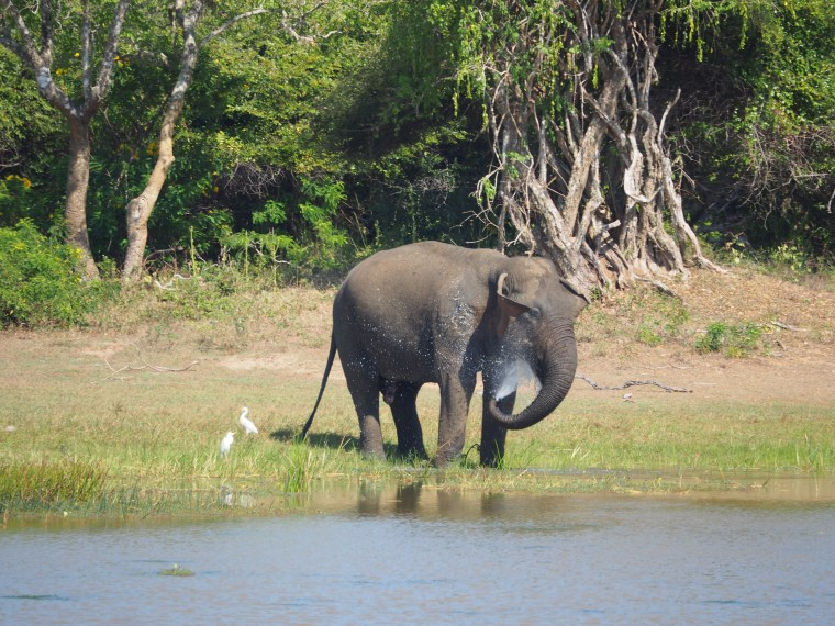 Elephant at Yala