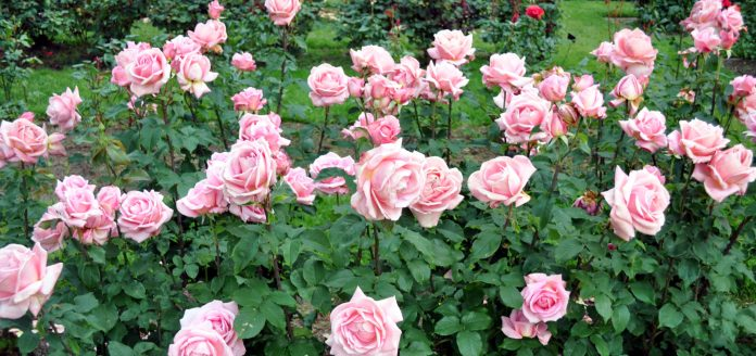 Another rose bush