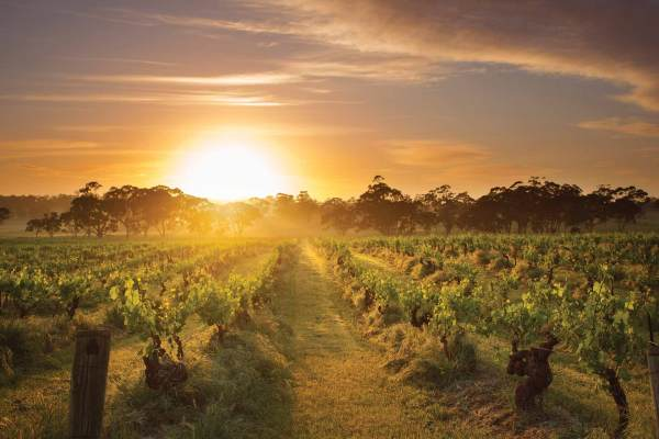 Henschke - Mount Edelstone Vineyard, Barossa Valley, South Australia / Photo: Dragan Radocaj