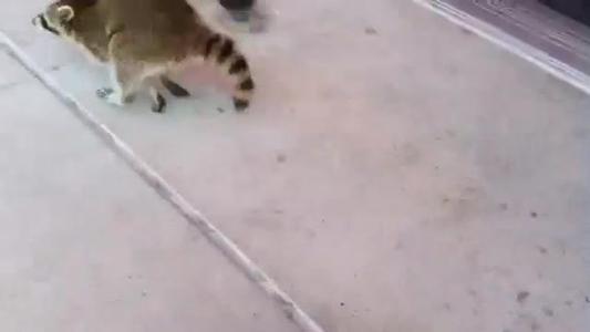 Raccoon escapes Target_247261742002489527