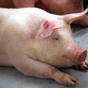 Pig_3350805988710696205