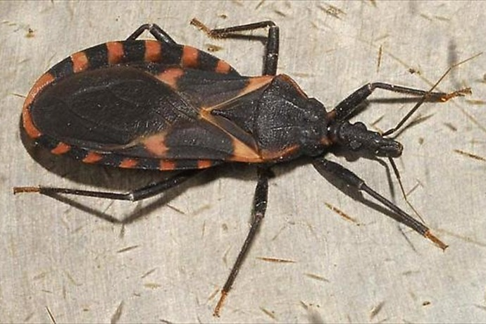 Kissing Bug_-5634397938071222245