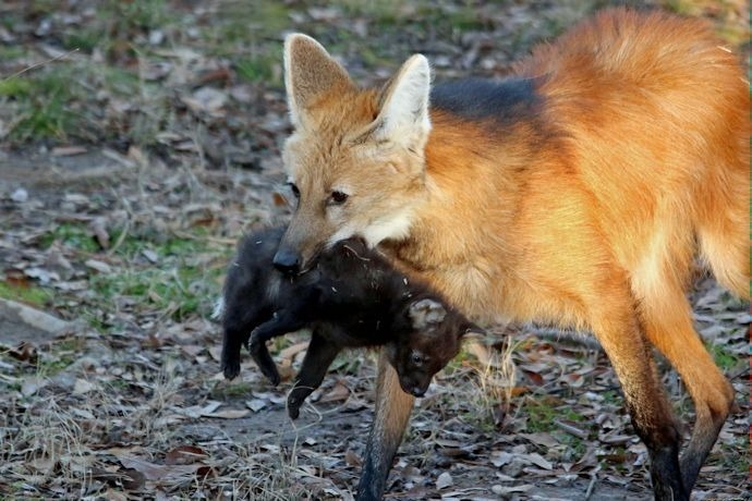 Mother Maned Wolf moves one of her pups at the Little Rock Zoo._-4088623149596193939