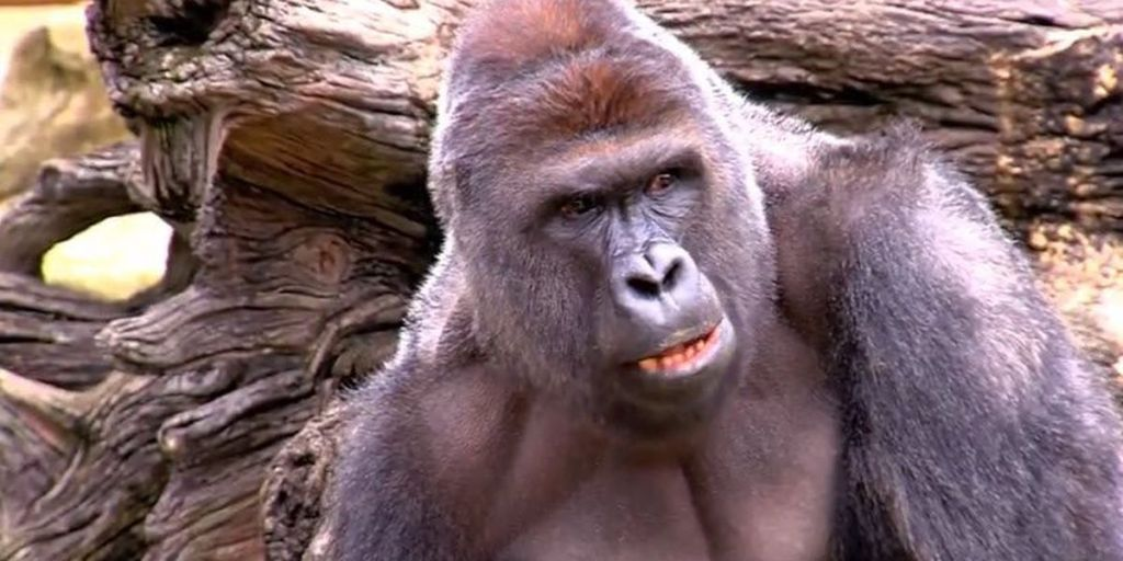 Today marks 5 years since Harambe's death at the Cincinnati Zoo after boy fell into Gorilla World exhibit