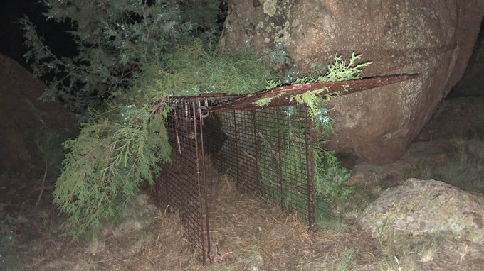 Colorado Parks and Wildlife officers set this trap to catch a mountain lion that attacked a boy in Bailey Wednesday night. / Photo courtesy Colorado Parks and Wildlife