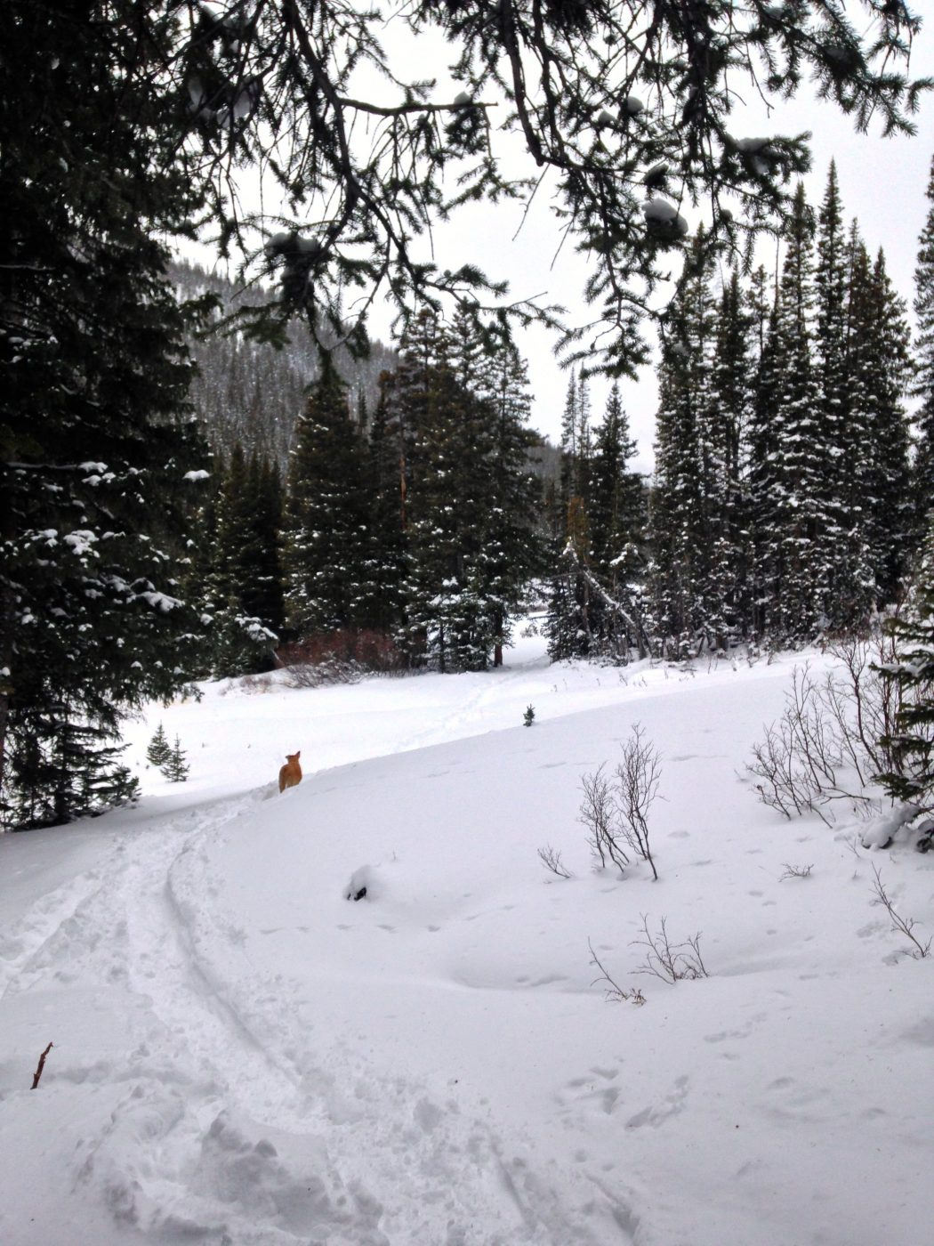 snowshoeing with a dog - down the trail
