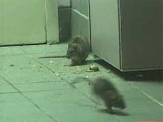 Rats infestation running wild inside a KFC/Taco Bell in New York.
