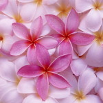 cropped-Tropical-Plumeria80011.jpg
