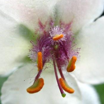 Moth Mullein