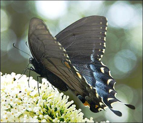 swallowtail2.jpg
