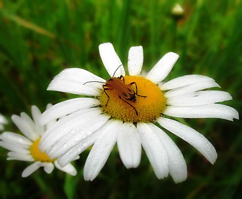 blister_daisy.jpg