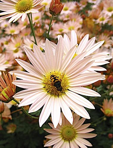 Syphid Fly on Chrysanthemums