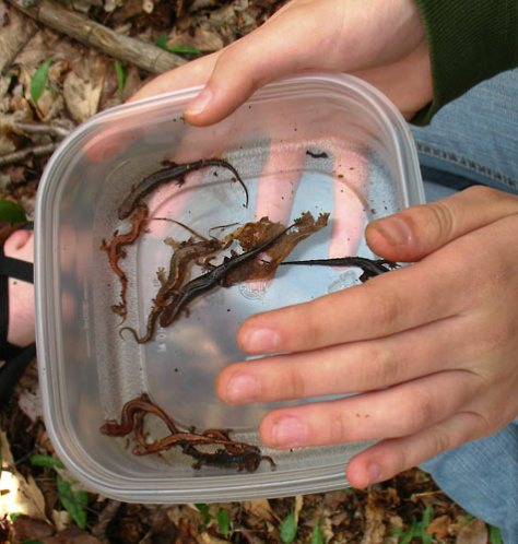 "Variation within a ""species"" of salamander"