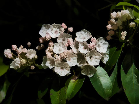 Mountain Laurel's beautiful trickery