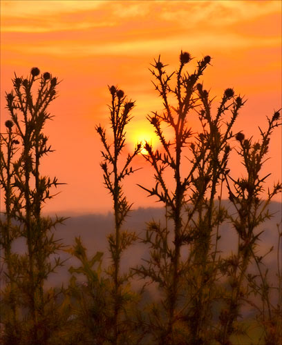 Thistles Against the Sunset