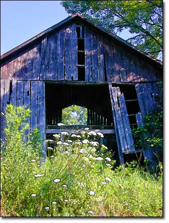 Queen Anne's Lace and Old Barn