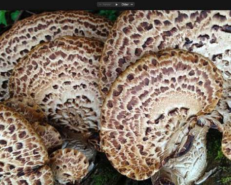 Dryad's Saddle or Pheasant Back Fungus. Click to enlarge