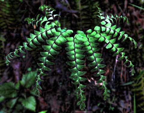IMG_0224maidenhair480