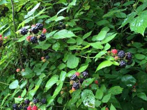 IMG_4389raspberries480