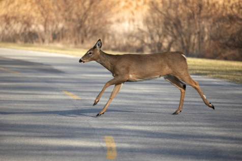 A deer is 300 times more likely to kill you than a shark.