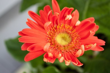 gerber daisy opening up