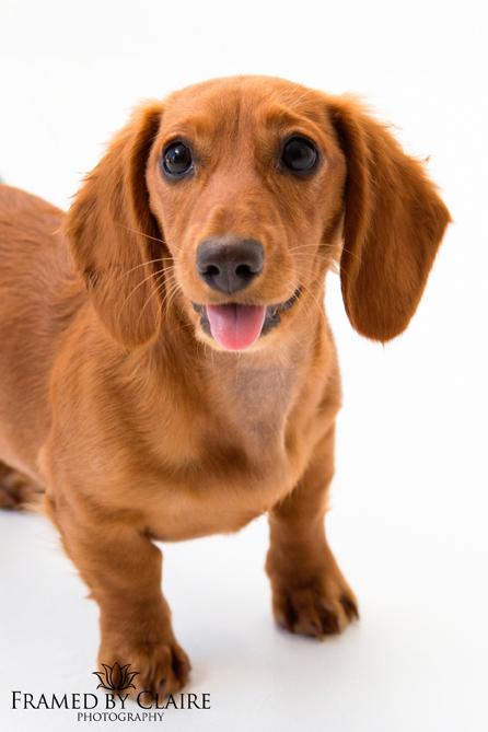 Dachshund Dog pet Portrait photography