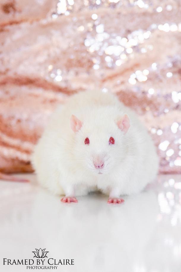 Pet rat Portrait studio photography