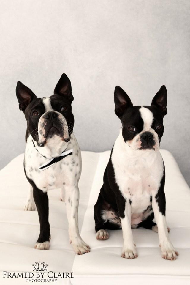 boston terrier pet studio photography pet portrait