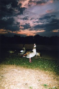 """Royal Geese Sunset, Kensington Gardens"" di Maciek Walorski"