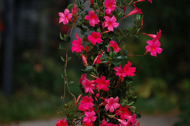 The Mandevilla An Easy Heat Tolerant Low Water Flower Franc Eli