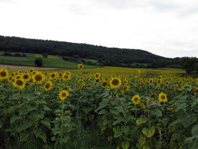 sunflowers -31