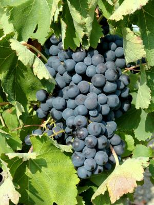 The Muscat grape of Ventoux - Gastronomy & Holidays guide