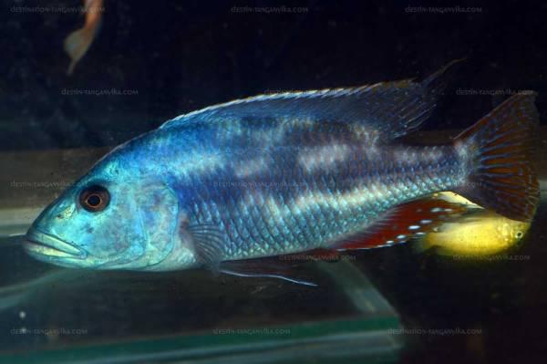 buccochromis-vic-a.1