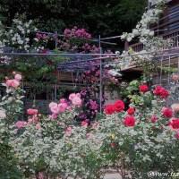奈良の桃源郷!松尾寺で薔薇と厄除けと愛に満ちた観光