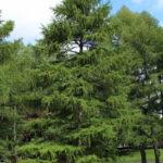 albero_larice