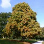 albero_toulipier
