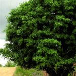 albero_angelim_amargoso