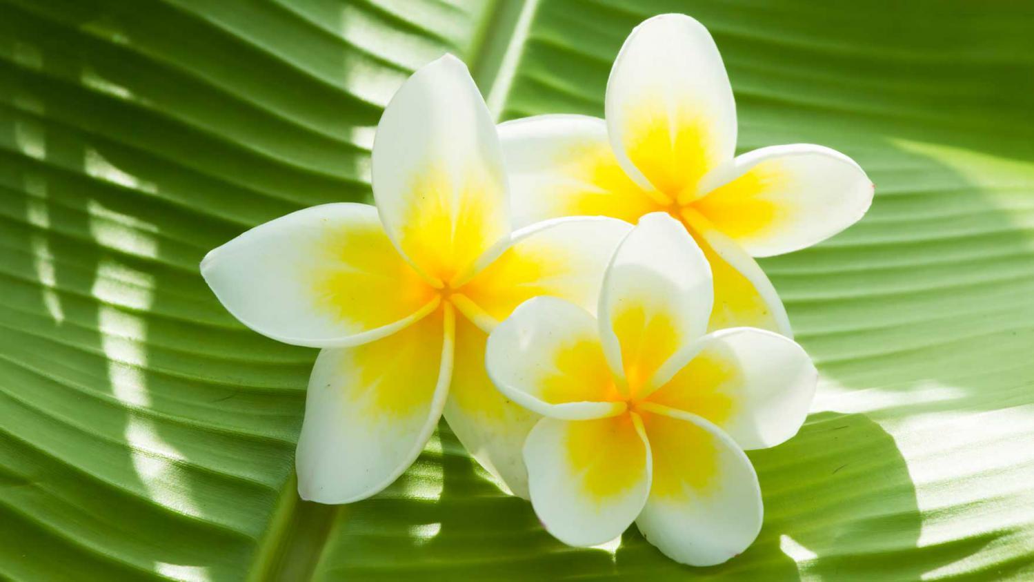 Fleur De Jardin Verveine