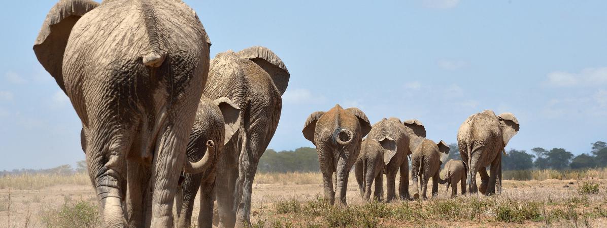 Selon les associations de protection de la nature, plus de 20 000 éléphantssont massacrés chaque année pour leur ivoire.