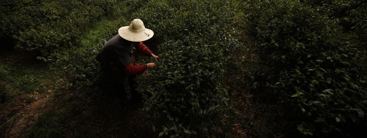 Une femme récolte des feuilles de thé à Moganshan (Chine), le 9 avril 2012.