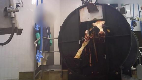 Selon l'association L214, dans l'abattoir Sobeval en Dordogne, les veaux seraientrégulièrement abattus sans étourdissement.