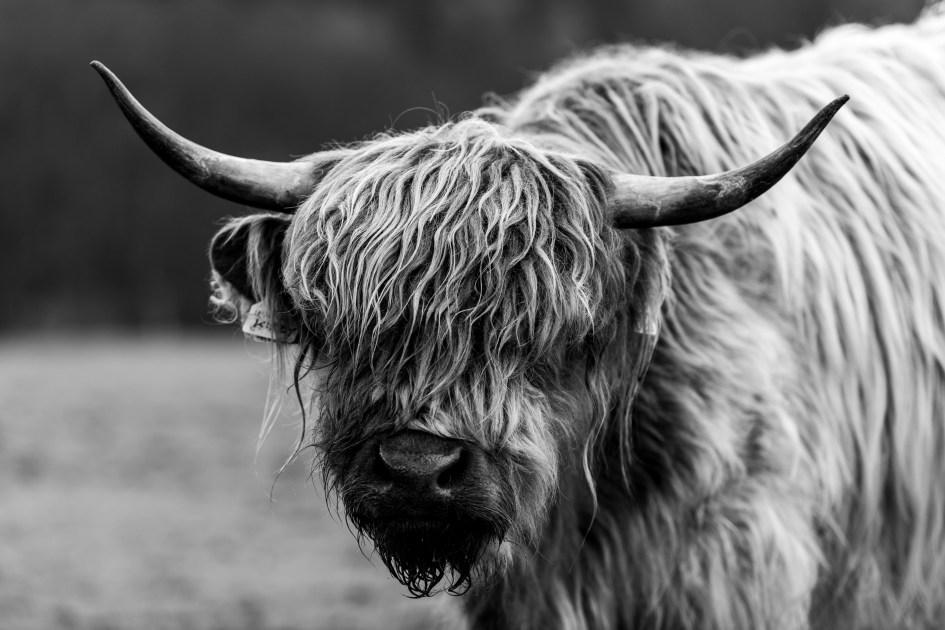 Portrait de vache Highland