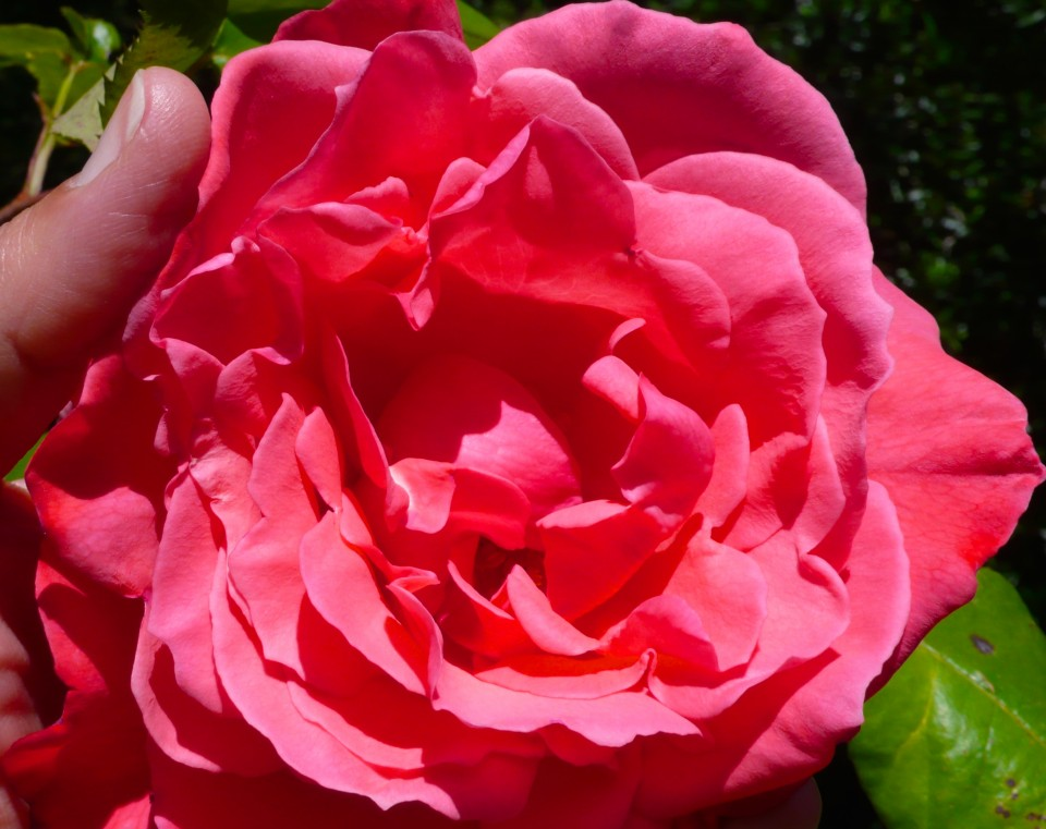 This fragrant antique rose that I started from a cutting dipped in rooting hormone is as big as my hand