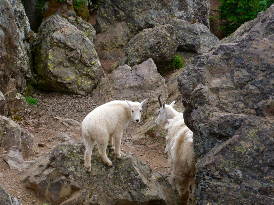 "Adorable..but keep your distance.  They were very close by and fearless. Mamma Mountain Goat and her baby.  Mary lovingly referred to the kid as ""Muffin""."