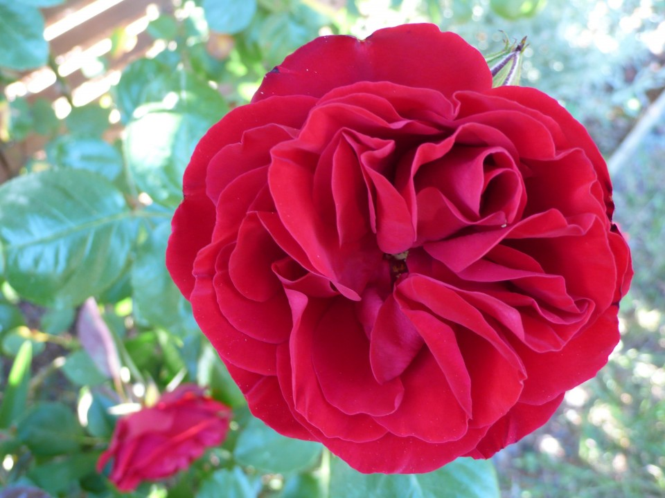 Rose seemingly floating in the garden-intense RED
