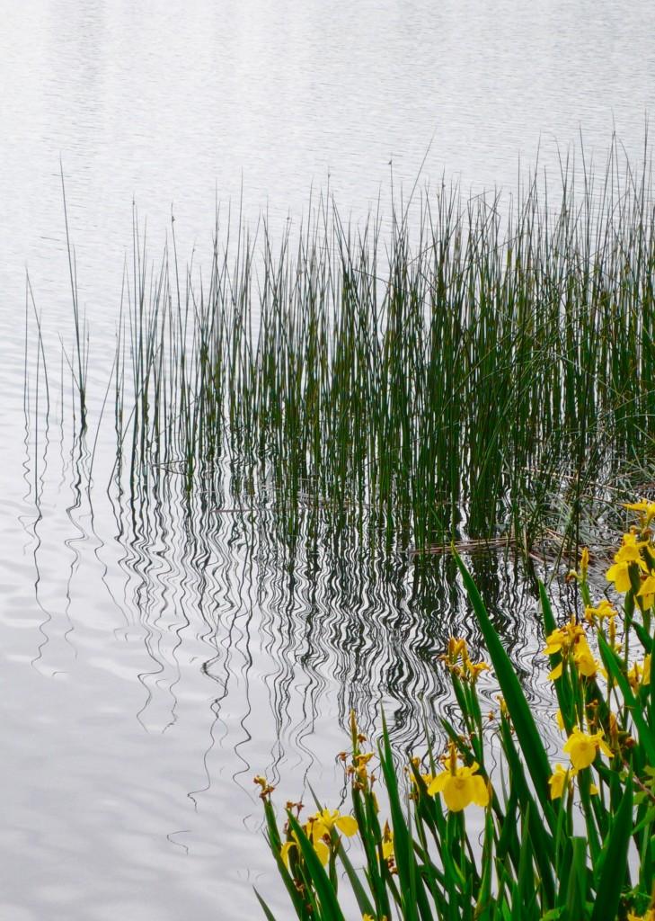 Lake, Iris, and Reed Grass